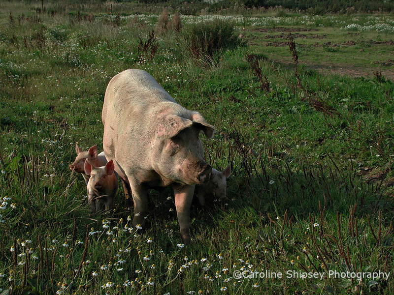 Free range pigs on Mendip near Charterhouse