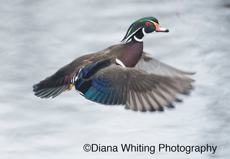 Wood Duck Flight