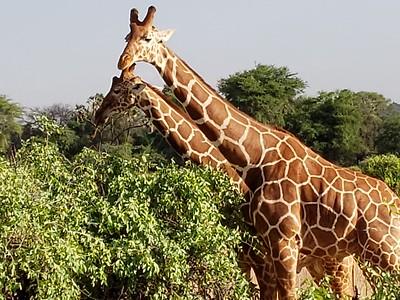 Giraffes east Africa 2018
