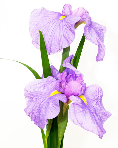 Art's Japanese Iris