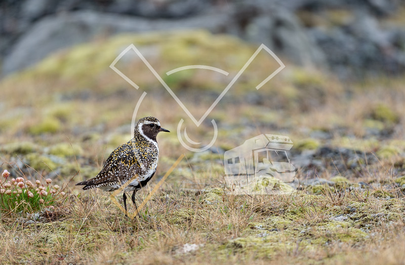 The European golden plover (Pluvialis apricaria) in breeding plumage