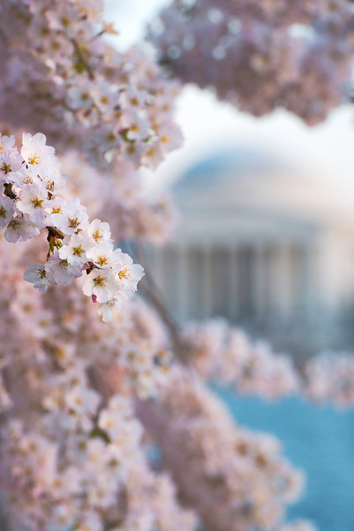 Thomas Jefferson Memorial Cherry Blossom Festival Washington DC.jpg