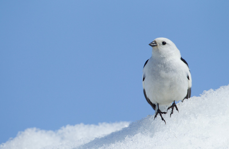 Snow Bunting, male in breeding plumage