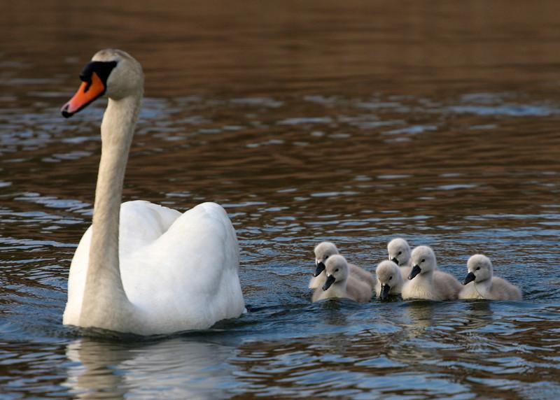 Swans and cygnets, Brook Rd, Westhampton Beach.