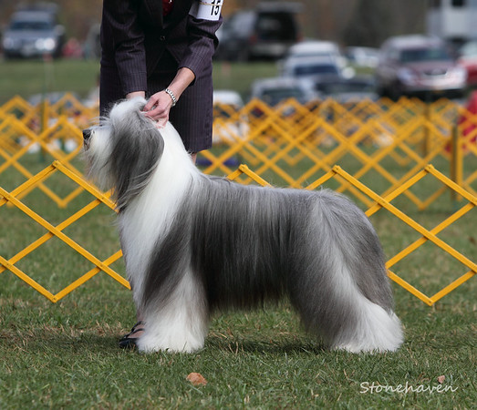 "Bearded Collie - ""Gabe"""