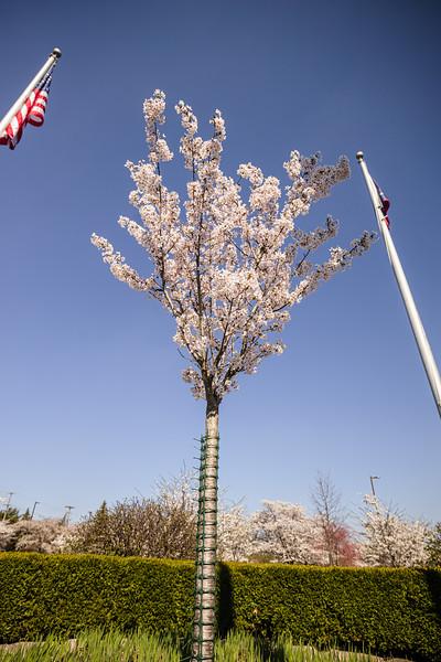 Hidaka USA 2020 Cherry Blossoms - Dublin Ohio
