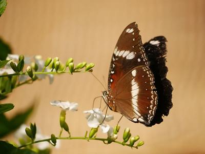 Northern Territory - butterflies