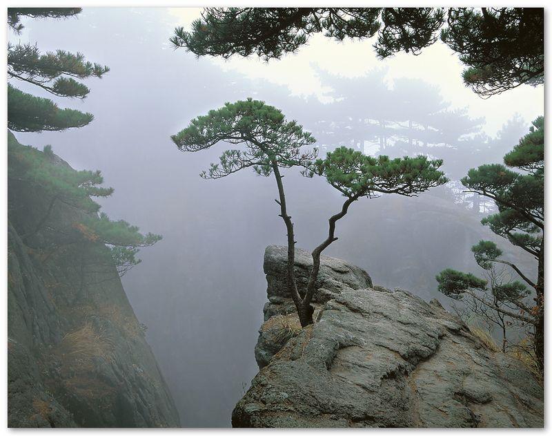 Pine in Fog