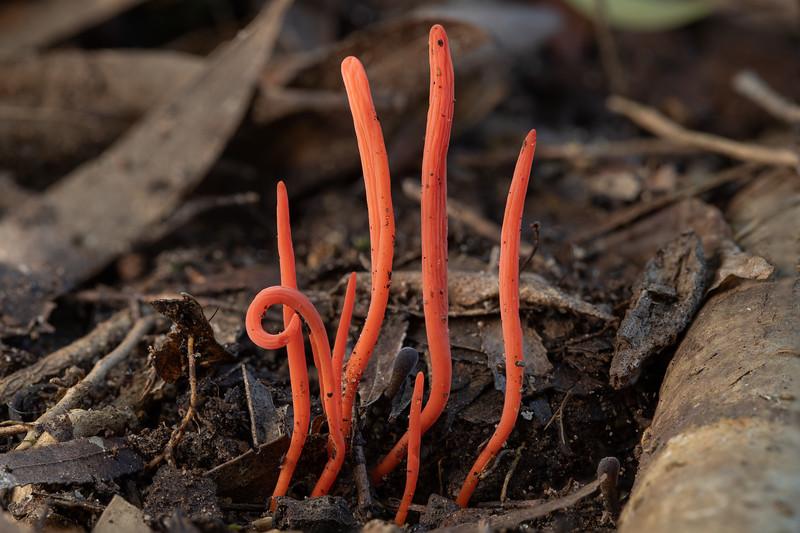Clavulinopsis sulcata
