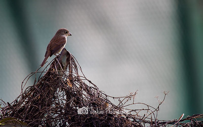 2018-10-19 Birding at Bidadari Park