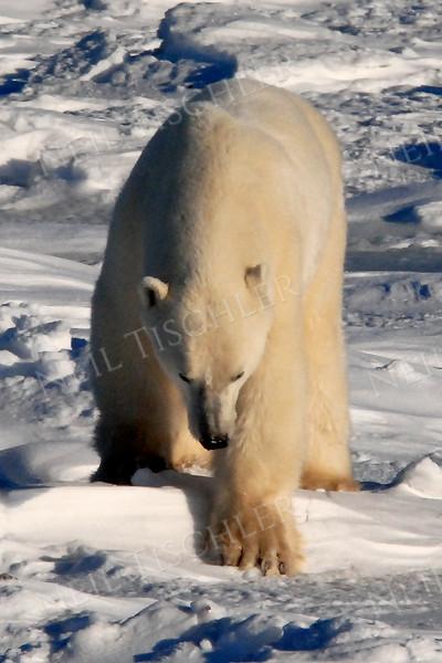 #526  Polar bear climbing short rise toward us.