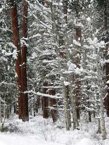 wintertrees1104.jpg