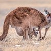 Western Gray Kangaroo and Joey