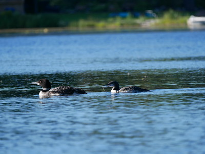 20180913 Common Loon