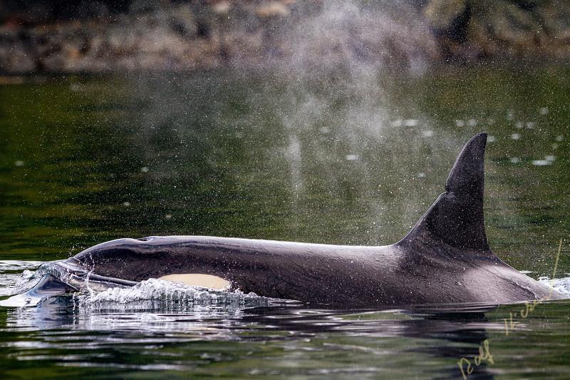 Killer whale close up, Johnstone Strait, British Columbia, Canada