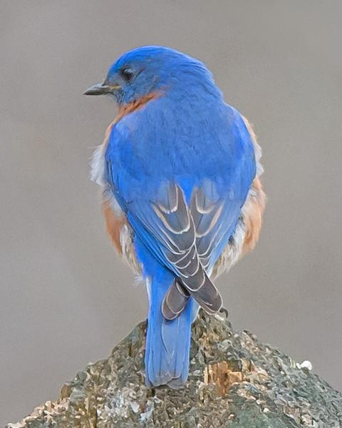 Eastern Bluebird (Expressionistic)