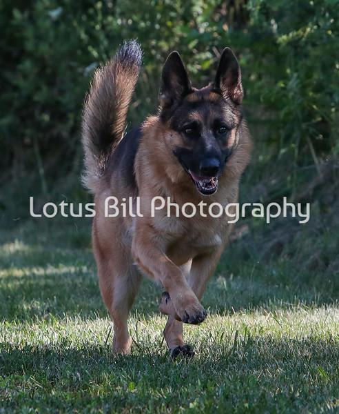 German Shepherd 2 SR