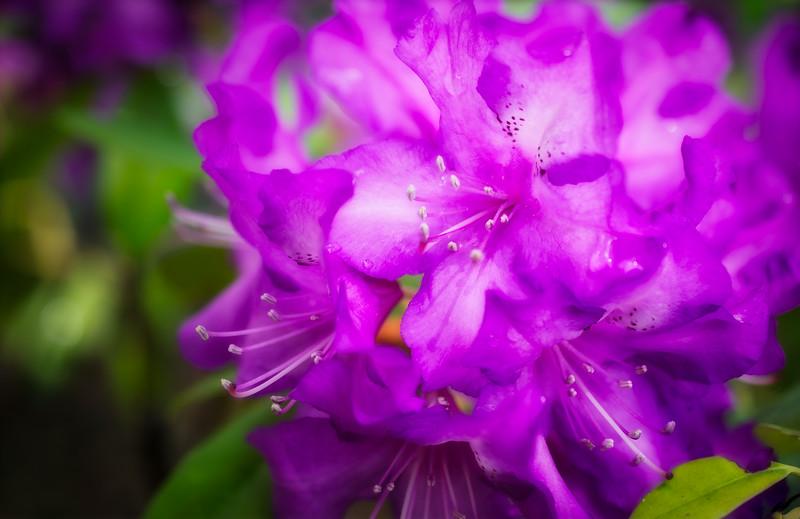 Rhododendron-Purple