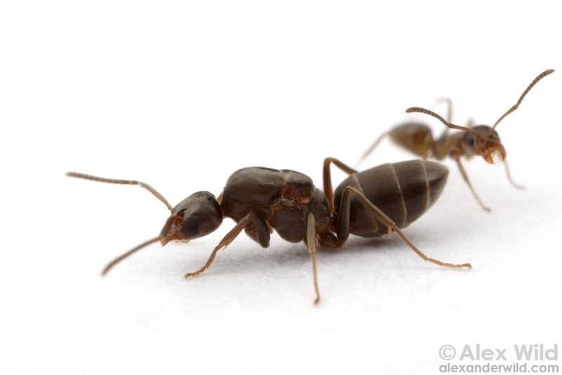 A queen and worker Argentine ant, Linepithema humile.  Córdoba, Argentina