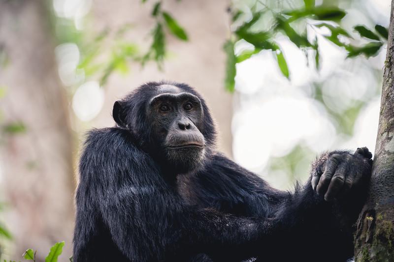 Uganda_T_Chimps-1432.jpg