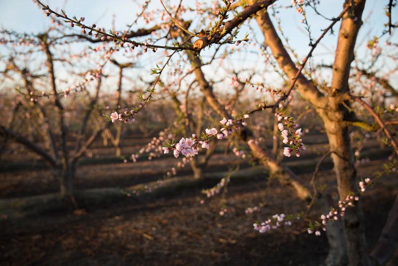 Early Peach Bloom