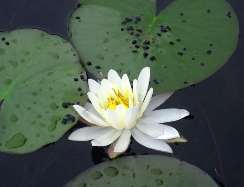 white_waterlily_lowres