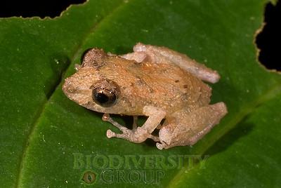 Pristimantis sp. (orangish medium tuberculate)
