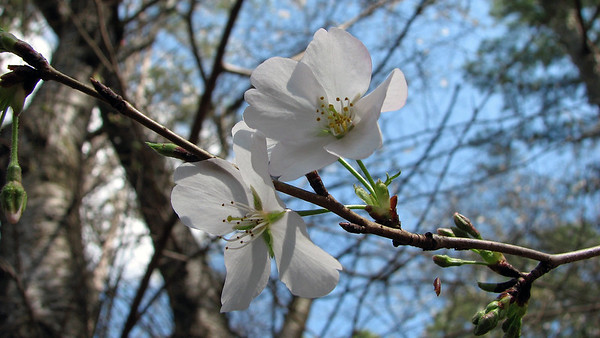 March 15:  Some blooms on the cherry tree .  .  .
