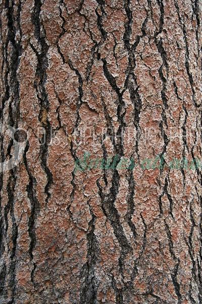 Ponderosa Pine Bark_batch_batch.jpg
