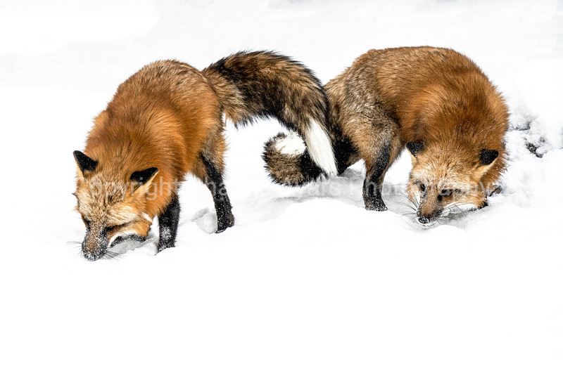 Pair of Red Foxes