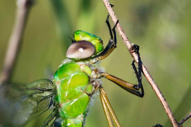 green-darner-dragonfly-ohio-profile-spingfieldBog.jpg