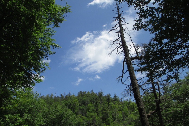 Everywhere you travel in the gorge are ghostly remnants of the hemlock forests which once thrived here...