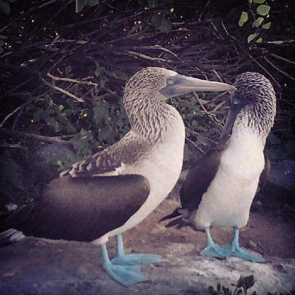 I_was_only_a_meter_away_to_watch_the_famous_Galapagos_blue-footed_booby_male_perform_his_famous_dance_to_woo_the_female._Animals_on_the_Galapagos_do_not_fly_away_when_you_approach_so_you_have_to_be_careful_to_respect_their_space..jpg