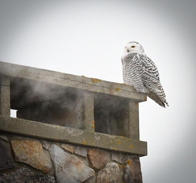 DSC_1787 Snowy Owl with steam.jpg