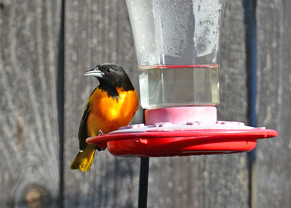 Oriole, Baltimore
