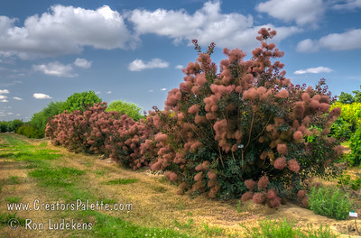 Cooke's Green Smoke Tree with Pink Smoke - Cotinus coggygria sp.