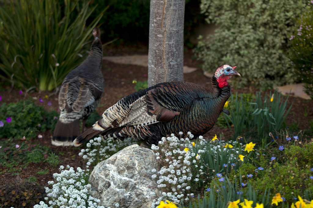 . Wild turkeys forage for food in a garden along Cornell Avenue, Sunday, Feb. 24, 2013 in Albany, Calif. Neighbors are requesting that the city do something about the birds, a flock of which have taken up residence in an area tree. (D. Ross Cameron/Staff)