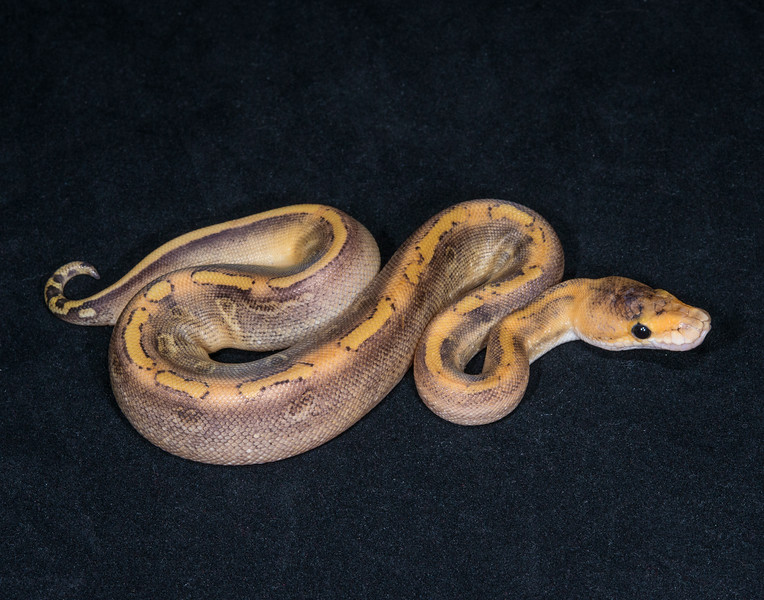 016MC, male Champagne, $120