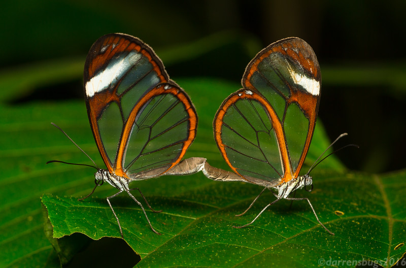 A pair of mating Clearwing Butterflies (Ithomiidae: subfamily Ithomiinae) at the Green Hills Butterfly Ranch in Belize.