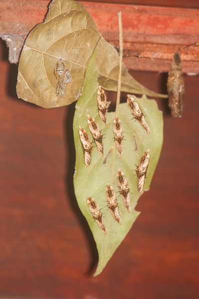 Caterpillars on a leaf