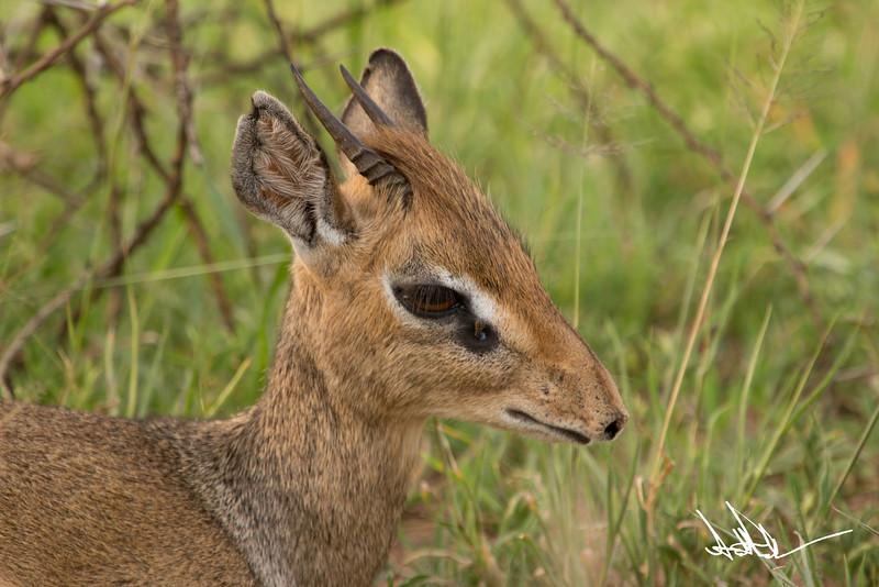 AntelopeS-12.jpg