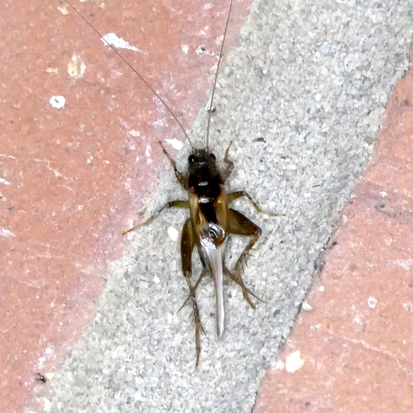 """P162UnidGroundCricket406 Nov. 3, 2016  6:21 a.m.  P1620406 The grout between bricks is usually about 11mm, so this little cricket should measure well under the 1/2"""" limit that separates Ground Cricketsfrom the larger species.  This is a female and resumbles Neonemobius """"near-to-mormonius"""" the Collared Ground Cricket, but may be another one."""