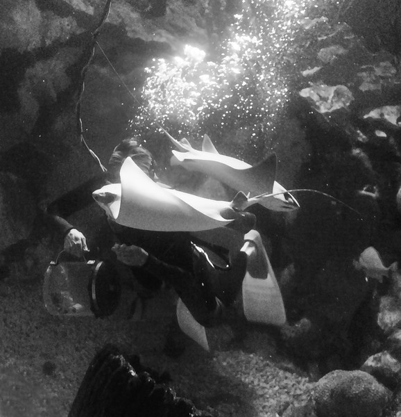 Diver feeding the Stingrays