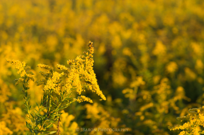 Goldenrod on Goldenrod