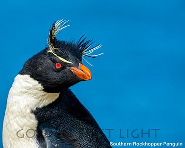 Southern Rockhopper Penguin, New Island, Falkland Islands