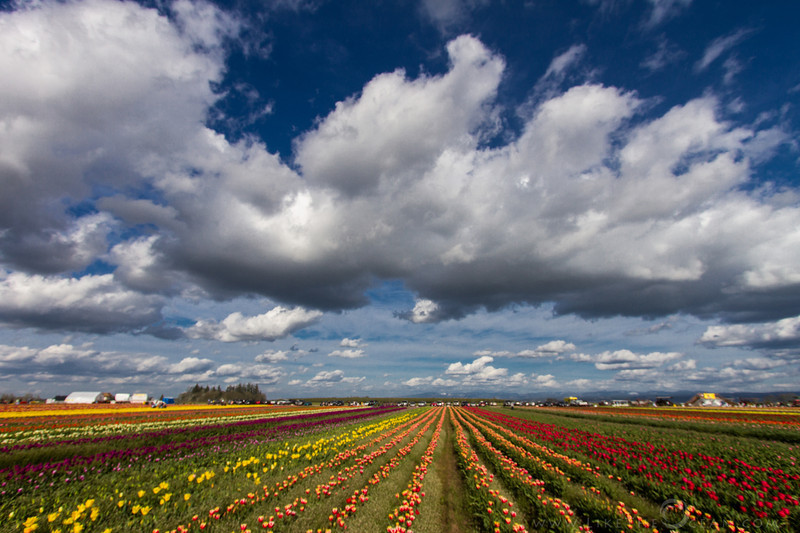 Dynamic Skies and Tulips