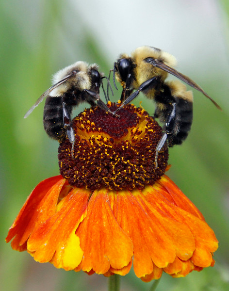 Bumble bee 13