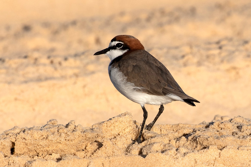 Red-capped plover, Fraser Island
