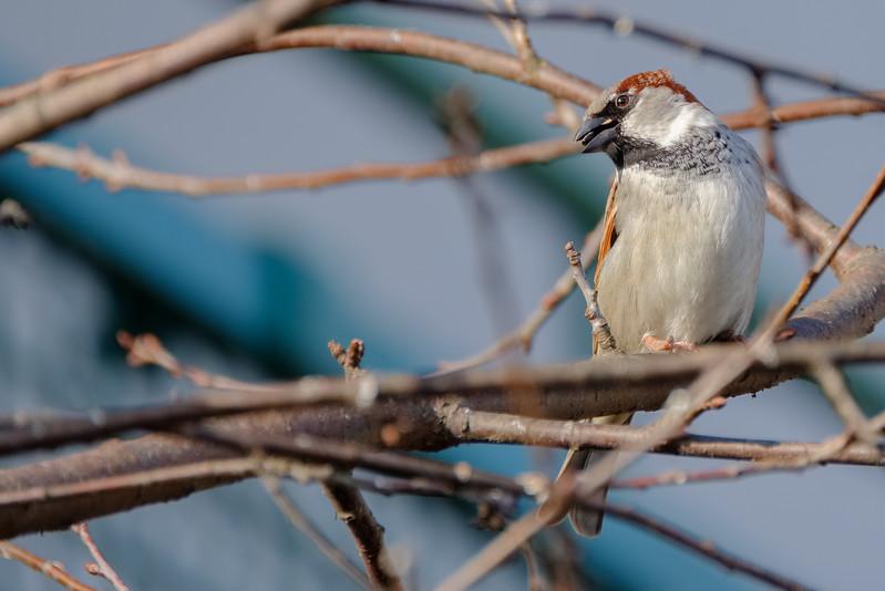 wróbel | house sparrow | passer domesticus