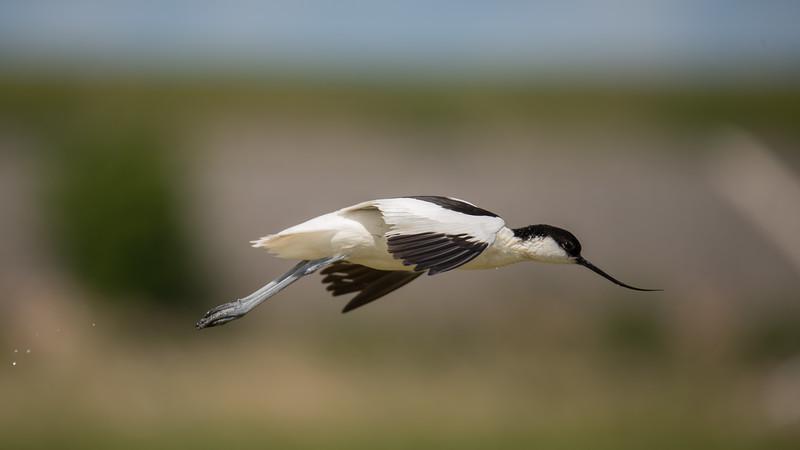 Pied Avocet , Recurvirostra avosetta. Texel, The Netherlands.